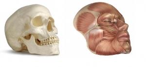 veido-anatomija